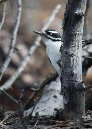 male-hairy-woodpecker-2