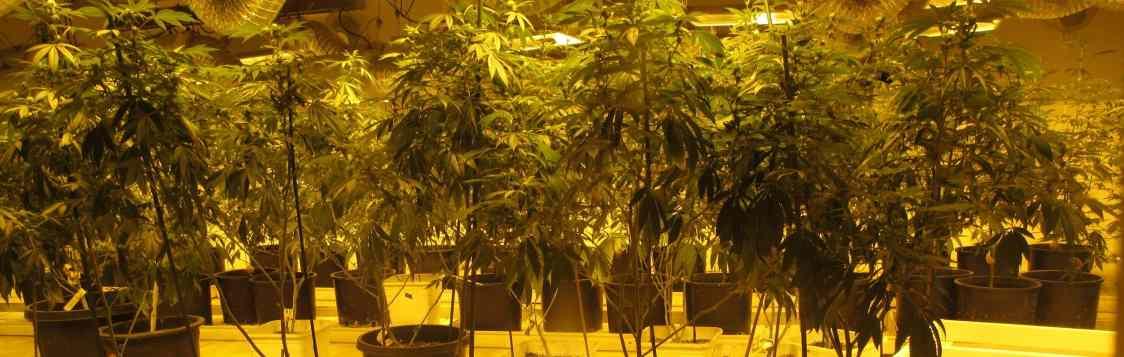 5 myths about cannabis