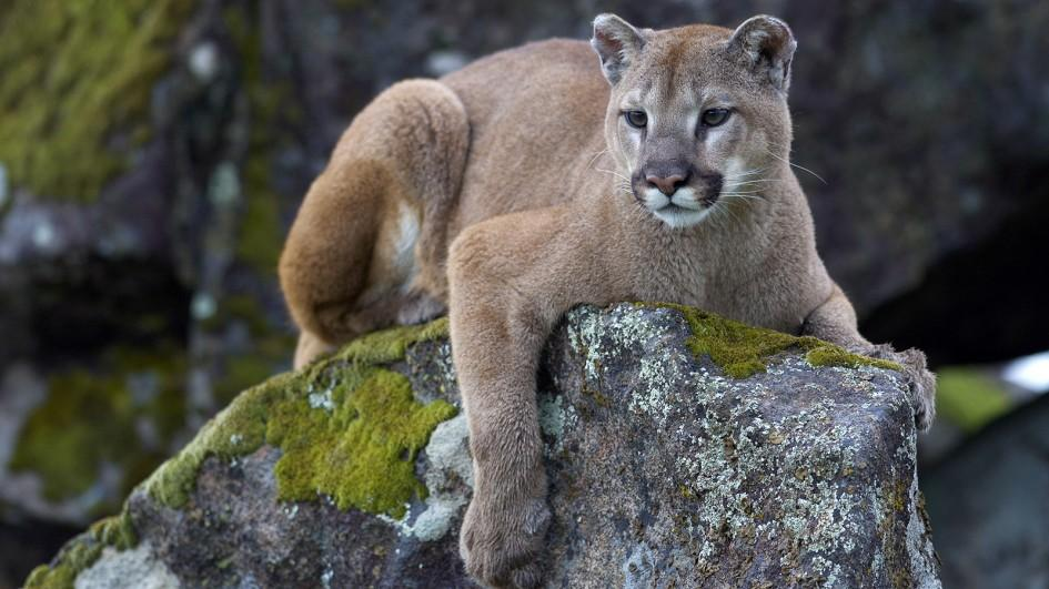 Mountain Lion in Colorado
