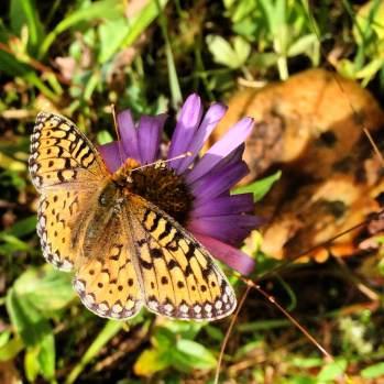 Colorado butterfly on wildflower