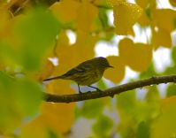 After an overnight rain, this neotropical songbird perched in the aspen trees next to the deck of the office, picking bugs from crannies in the bark and sipping fresh raindrops off the yellowing leaves.