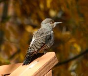 This bright red-shafted flicker obliged by perching on a railing for several seconds, enabling me to draw a sharp focus even at 300 mm.