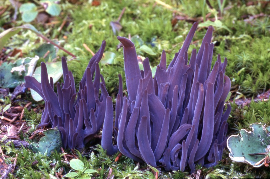 Clavaria_purpurea004
