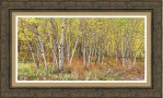 Colorful Aspen Tree Forest For Panorama View Framed Print