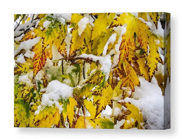 Autumn Maple Leaves In The Snow Canvas Print