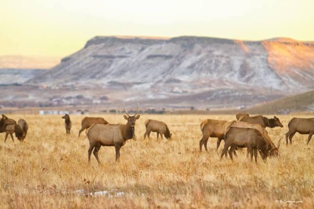 Herd of Elk Grazing On The Colorado Rocky Mountain Foothills