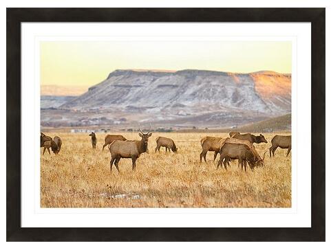Elk Herd Grazing Rocky Mountain Foothills Framed Print