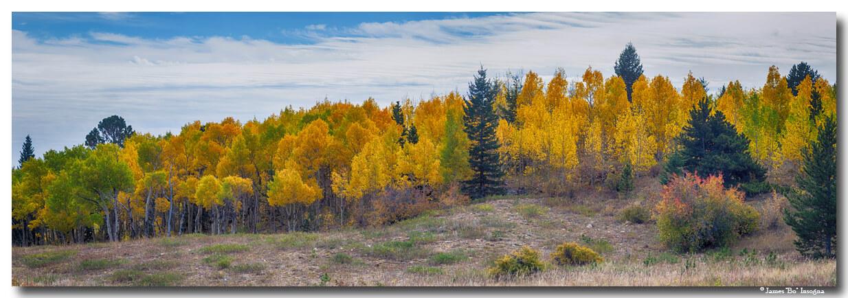 Autumn Season Aspen Grove Panorama View