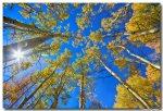 Autumn Aspen Magic