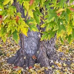 Mighty Maple Tree