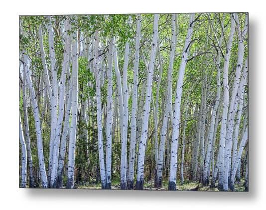 White Colorado Forest
