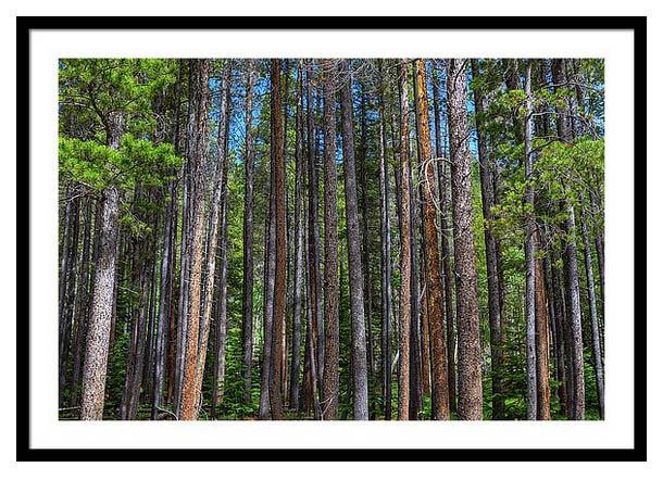 Pillars Of Nature Pine Tree Forest Framed Print - Colorado Nature Art
