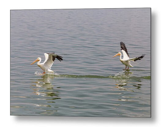 Double Pelican Splash Down Metal Print