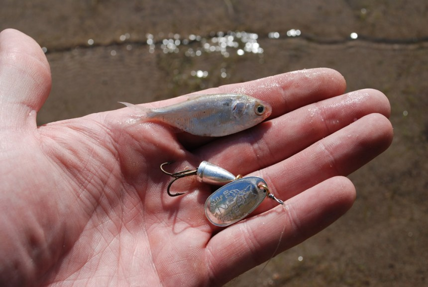 A Blue Fox spinner is a near-perfect shad imitation.