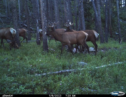 Elk. Submitted by T. Bandemer in Grand County.