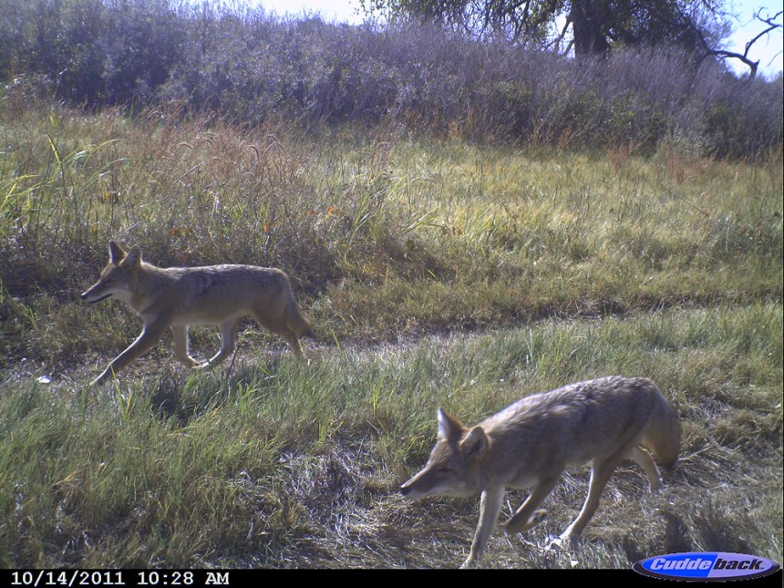 Coyotes near South Platte River in eastern Colorado.