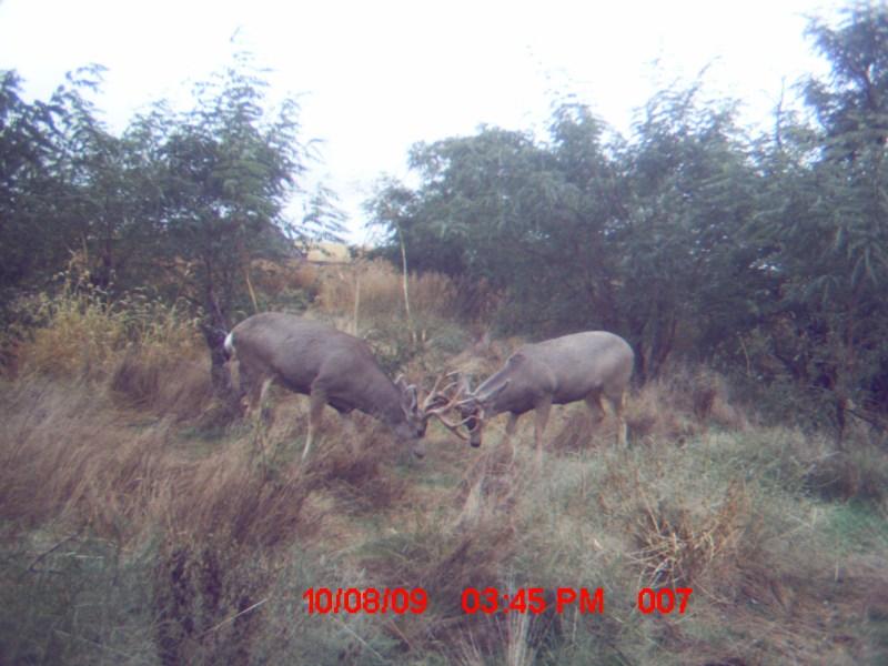 Sparring mule deer bucks in Yuma County.