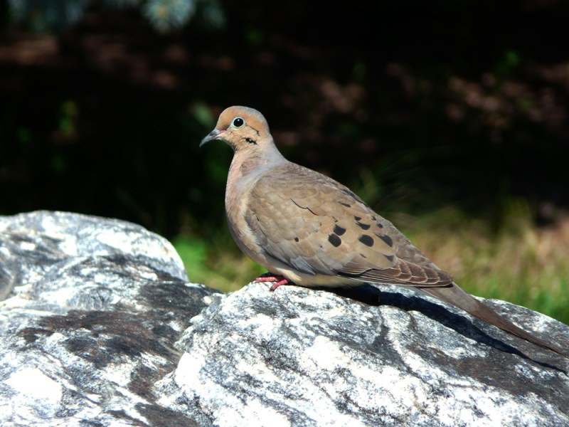A mourning dove. Photo by © Wayne D. Lewis/CPW