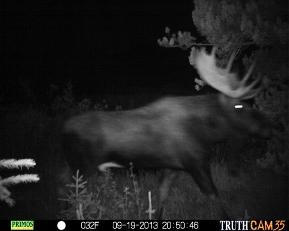 A trail-cam photo proved the large bull was still in the area.
