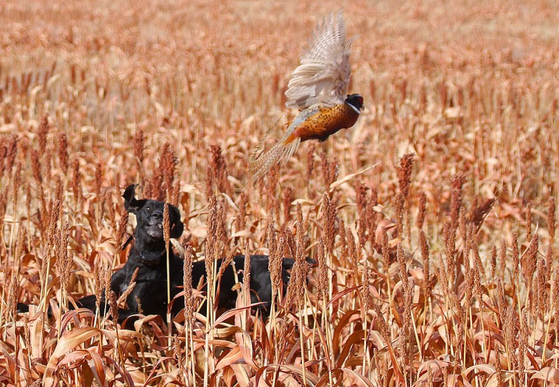 A Labrador flushes a pheasant. Photo by Jerry Neal/CPW.
