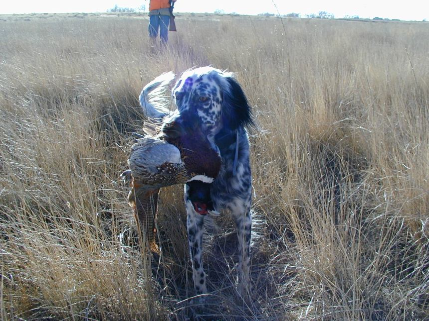 Tess proudly displays a rooster pheasant.  Dogs are a tremendous benefit when pursuing late-season birds.
