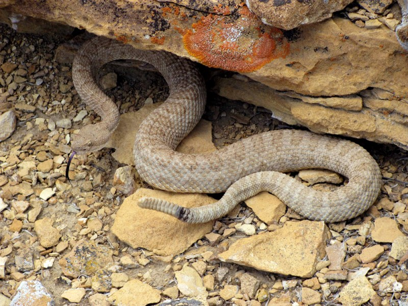 A Western rattlesnake
