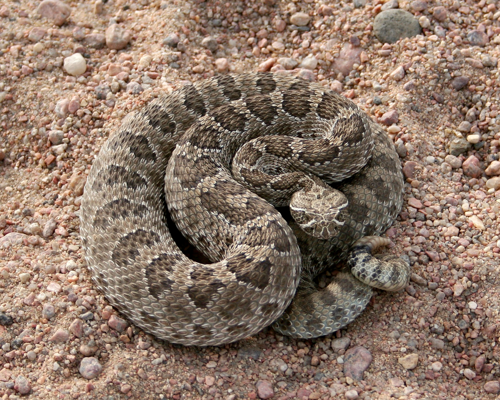 Colorado Rattlesnakes: What Sportsmen Should Know - Colorado