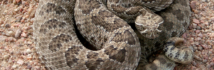 Rattlesnakes In Colorado Map.Colorado Rattlesnakes What Sportsmen Should Know Colorado