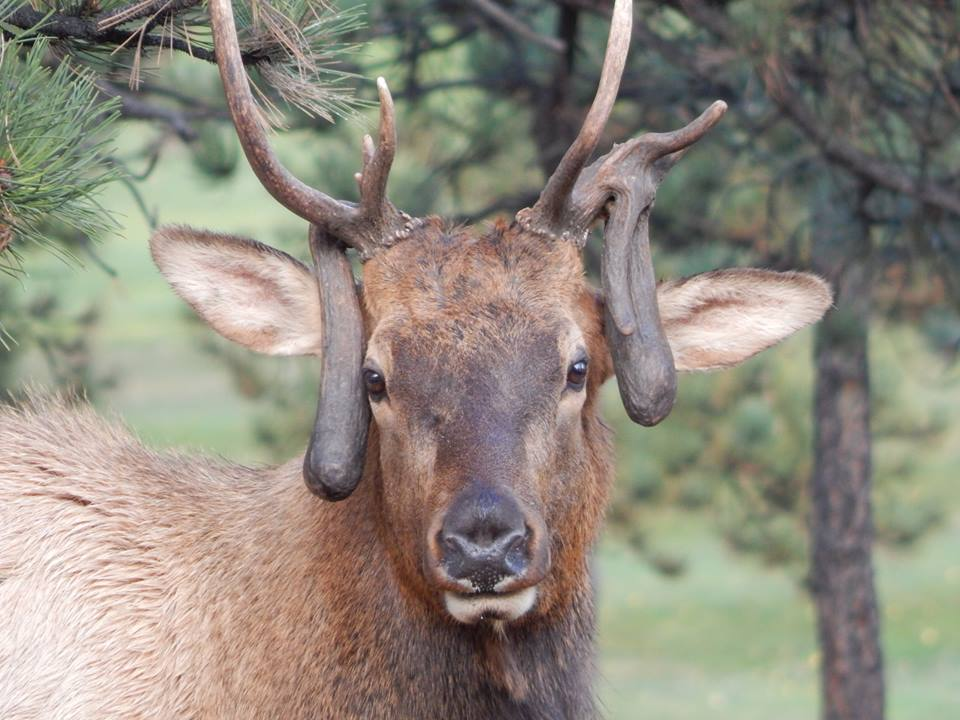 What Causes Nontypical Antler Growth In Elk And Deer Ask The