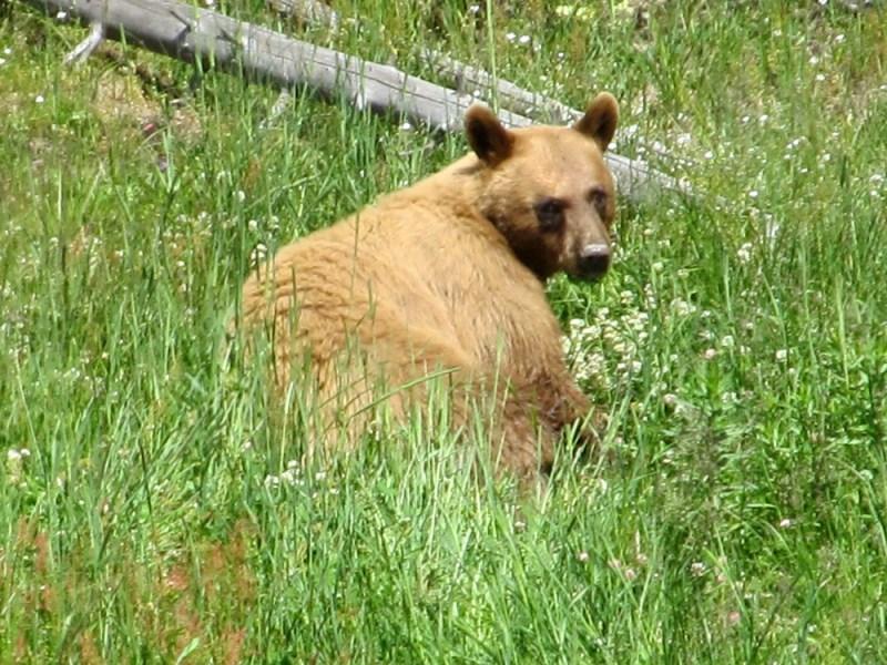 A black bear in southwest Colorado. Photo by David Lien.