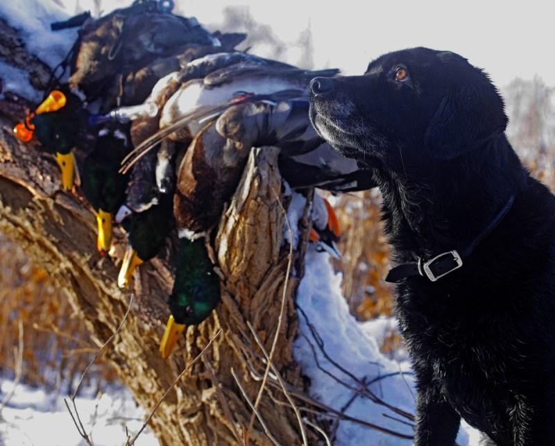 A black Lab and mallard ducks