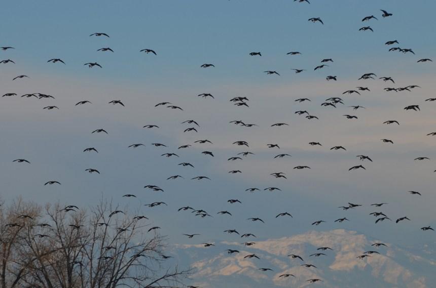Canada geese in flight. Photo by © Wayne D. Lewis.
