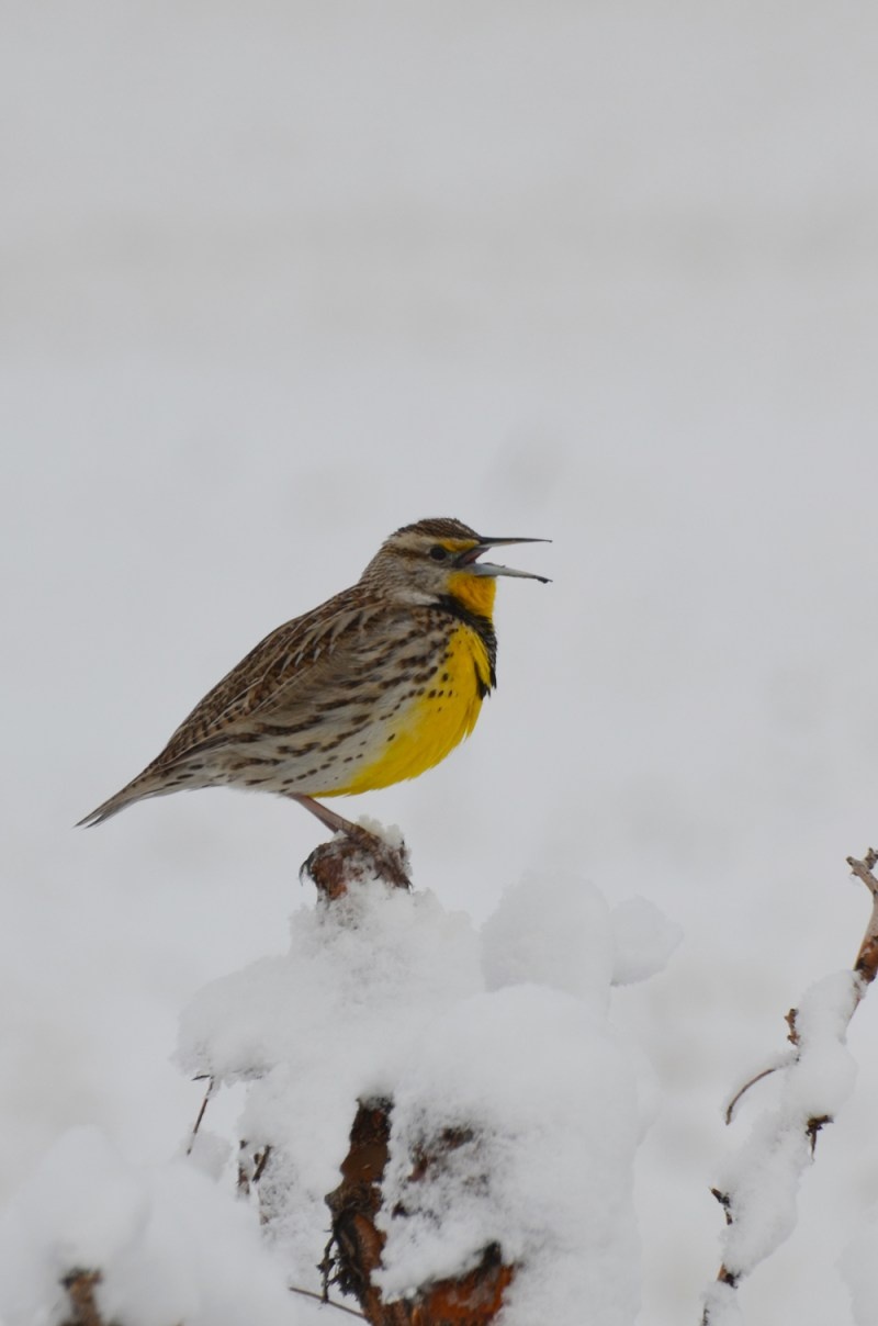 Meadowlark. Photo by © Wayne D. Lewis/CPW.