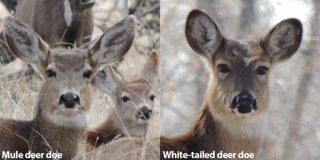 Mule Deer vs Whitetails doe heads