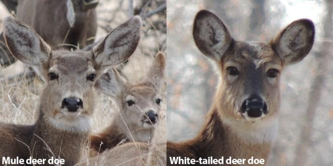 Mule Deer vs Whitetails doe heads