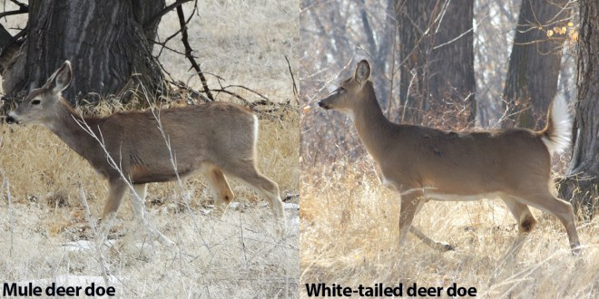 Mule Deer vs Whitetails doe side