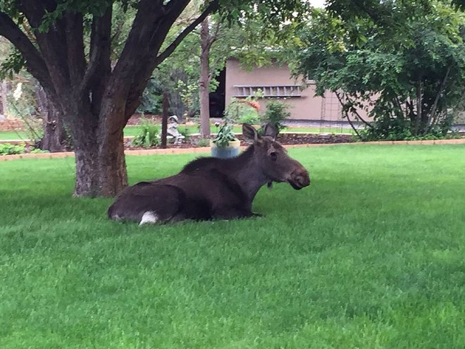 A cow moose rests on a lawn in Lakewood. Photo by CPW.