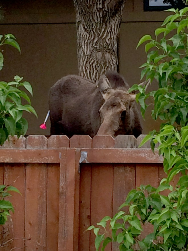 A moose in Lakewood is shot with a tranquilizer dart. Photo by CPW.