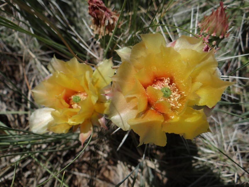 Prickly pear cactus can be found along the park's hiking trails. Photo by Linda Pohle.