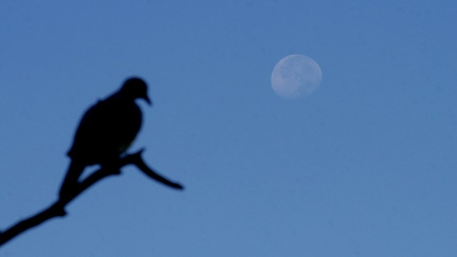 The moon sits behind a dove decoy on Colorado's Eastern Plains. Photo by Jerry Neal/CPW.