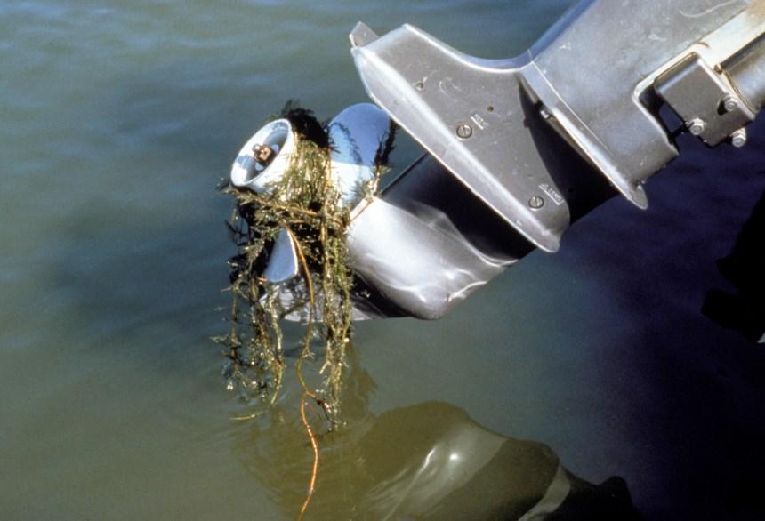 watermillfoil on boat-Credit Michigan Sea Grant