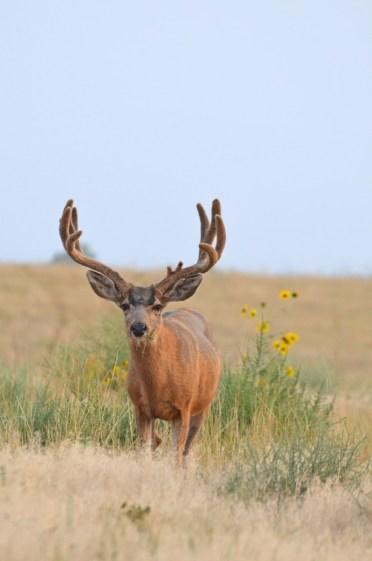 1Mule-deer-buck-Wayne-D-Lewis-DSC_0283