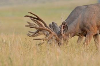 1Mule-deer-bucks-Wayne-D-Lewis-DSC_0247