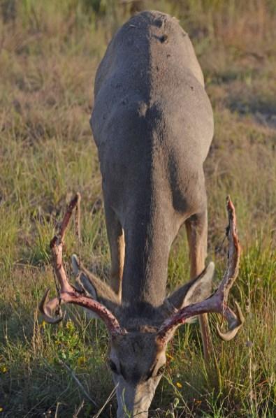 buck-shedding-velvet-Wayne-D-Lewis-DSC_0113