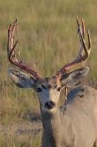 buck-shedding-velvet-Wayne-D-Lewis-DSC_0116