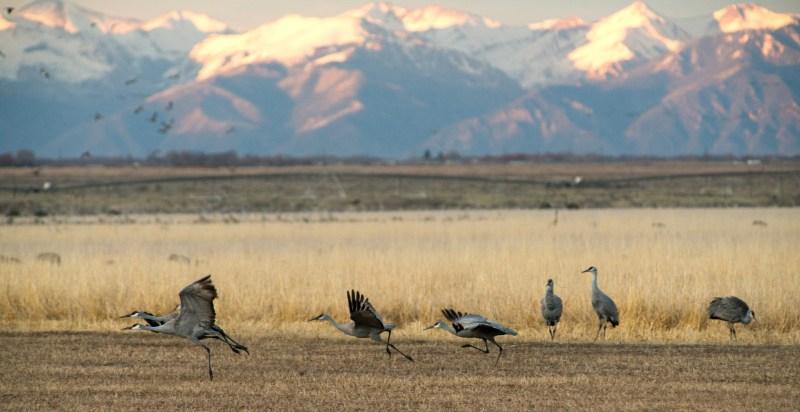 Sandhill cranes in Monte Vista