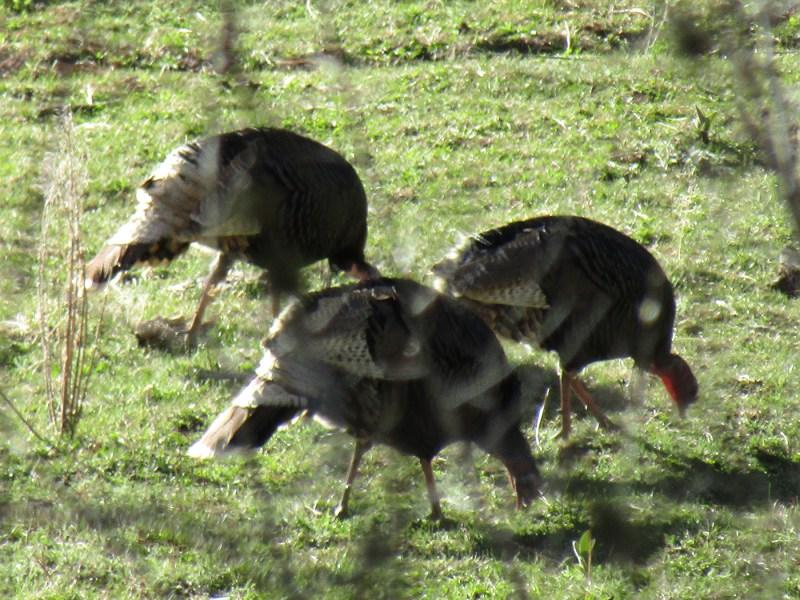 3-Turkeys