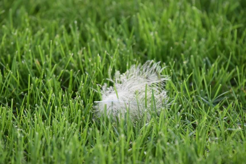 feather-GH-owl-chicks-Wayne-D-Lewis-DSC_0298