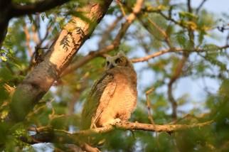 GH-owl-chick-Wayne-D-Lewis-DSC_0419