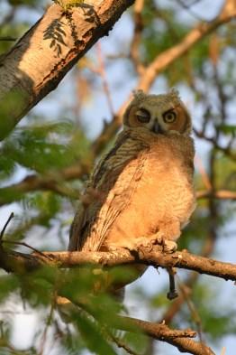 GH-owl-chick-Wayne-D-Lewis-DSC_0434